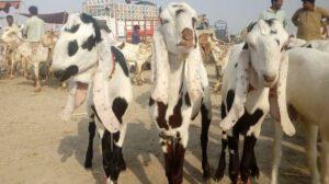 Goat Luddan Maweshi Mandi